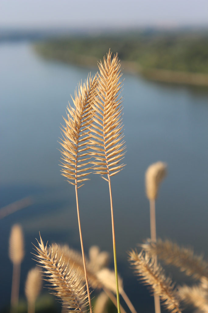 Agropyron cristatum - grasses with dried seedhead