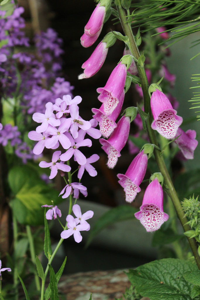 Hesperis and Foxgloves - perfect woodland planting companions